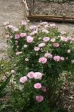 Rosedemeaux